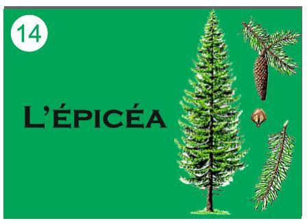 L'épicéa - Jeu pédagogique milieu forestier